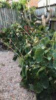 Begonias,overgrown,hiding papaya tree
