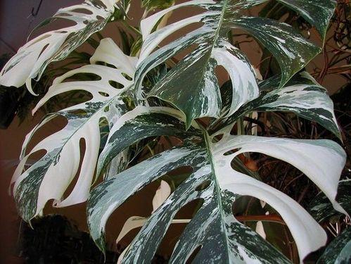 variegated-monstera-deliciosa--86089.jpg