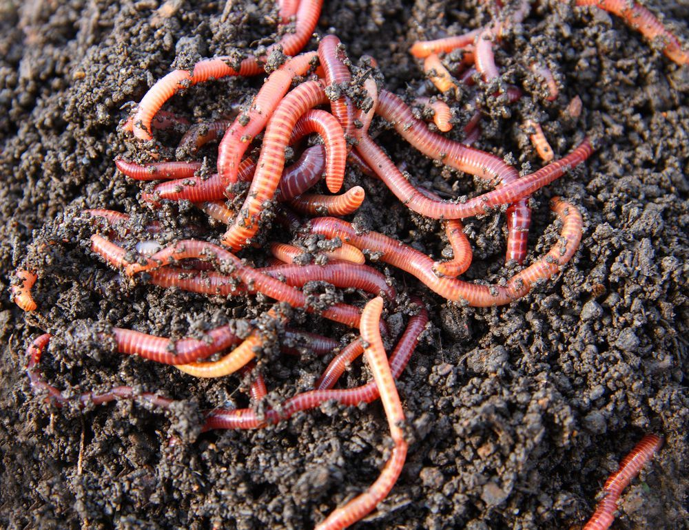 stock_red-worms.jpg