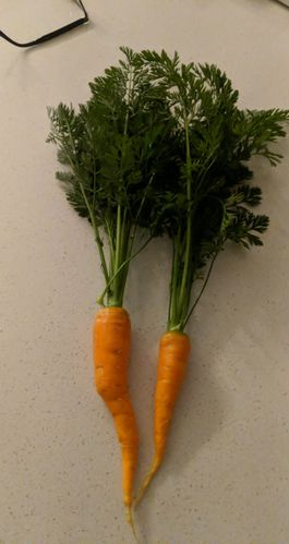 We had a lot of carrots, but the soil was too hard, so they were all bent.