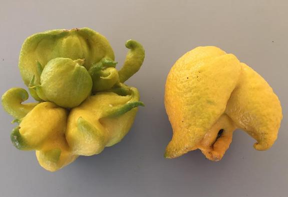 Mutant lemons.png