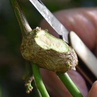 2.3 Exposed gall with eggs.jpg