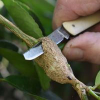 2.1 Cutting gall with knife.jpg