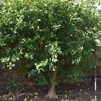 4.1 A well-shaped lime tree.jpg