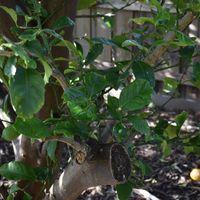 5.1 60 year lemon tree rehuvenated by pruning.jpg