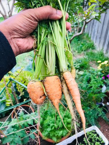 harvested carrots. guess they do like replanting
