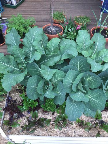 cabbage and cauliflower