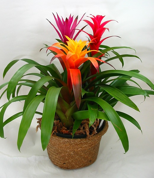 bromeliads_in_pot.jpg