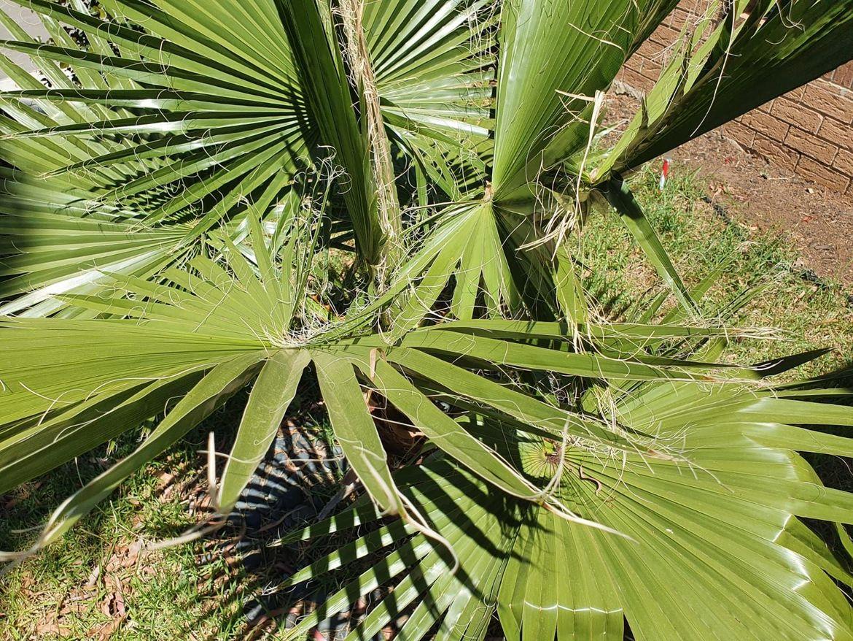 Palm tree -2.jpg