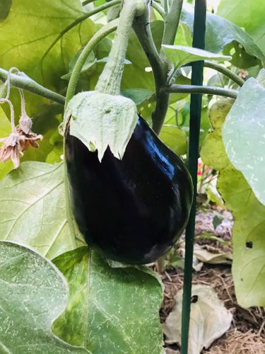 A whopper eggplant