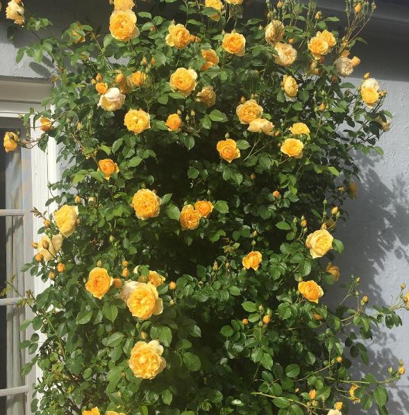 Climbing Rose.png