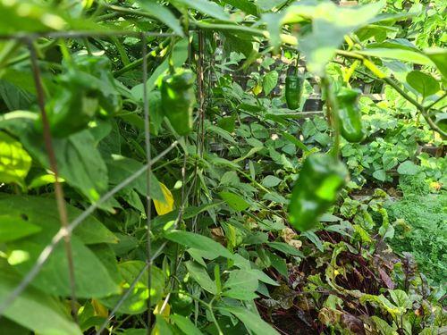 Manzano bush loaded