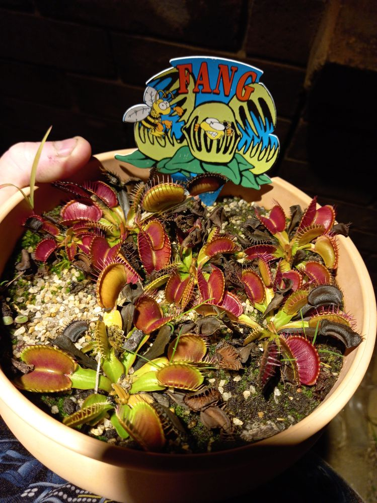 bunnings VFT, one season after being repotted.