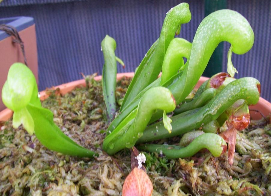 """my favourite CP. """"Darlingtonia Californica"""" - the cobra plant (its not actually a lily despite being called cobra lily)"""