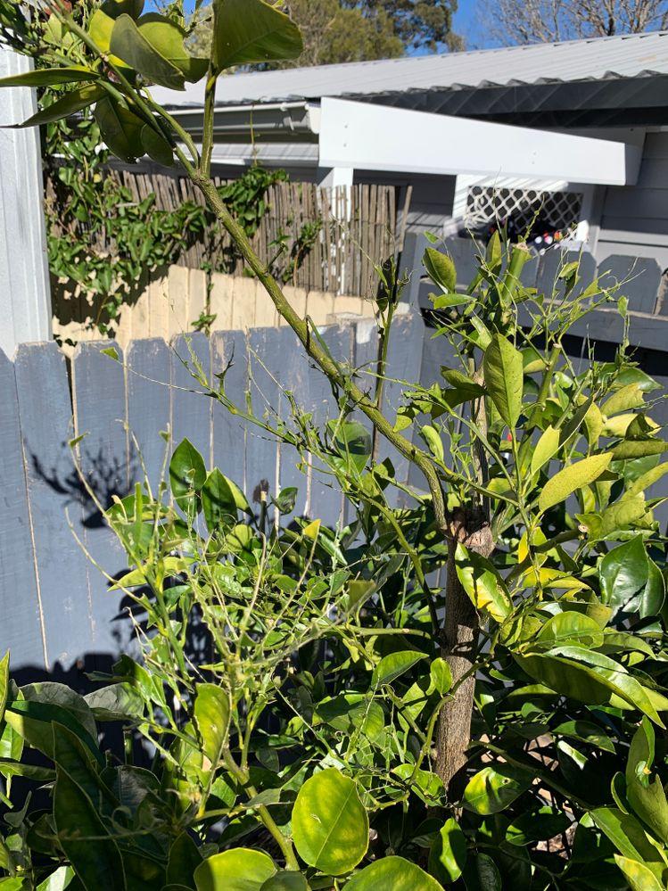Orange Tree Damage