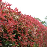 Photinia has colourful new foliage.