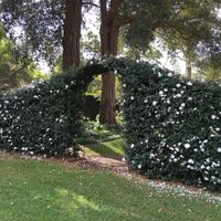 Camellia sasanqua makes a very trainable flowering hedge even in shady spots.