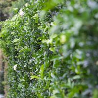 Murraya forms a dense hedge quickly.