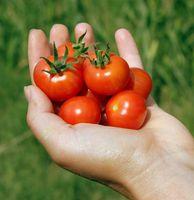 Handheld-Cherry-Tomatoes-in-hand_8063.jpeg