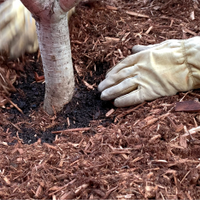 13.1 Keep mulch away from plant trunks and stems.png