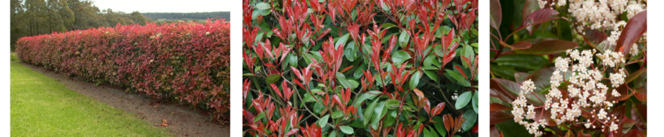 Photinia.png