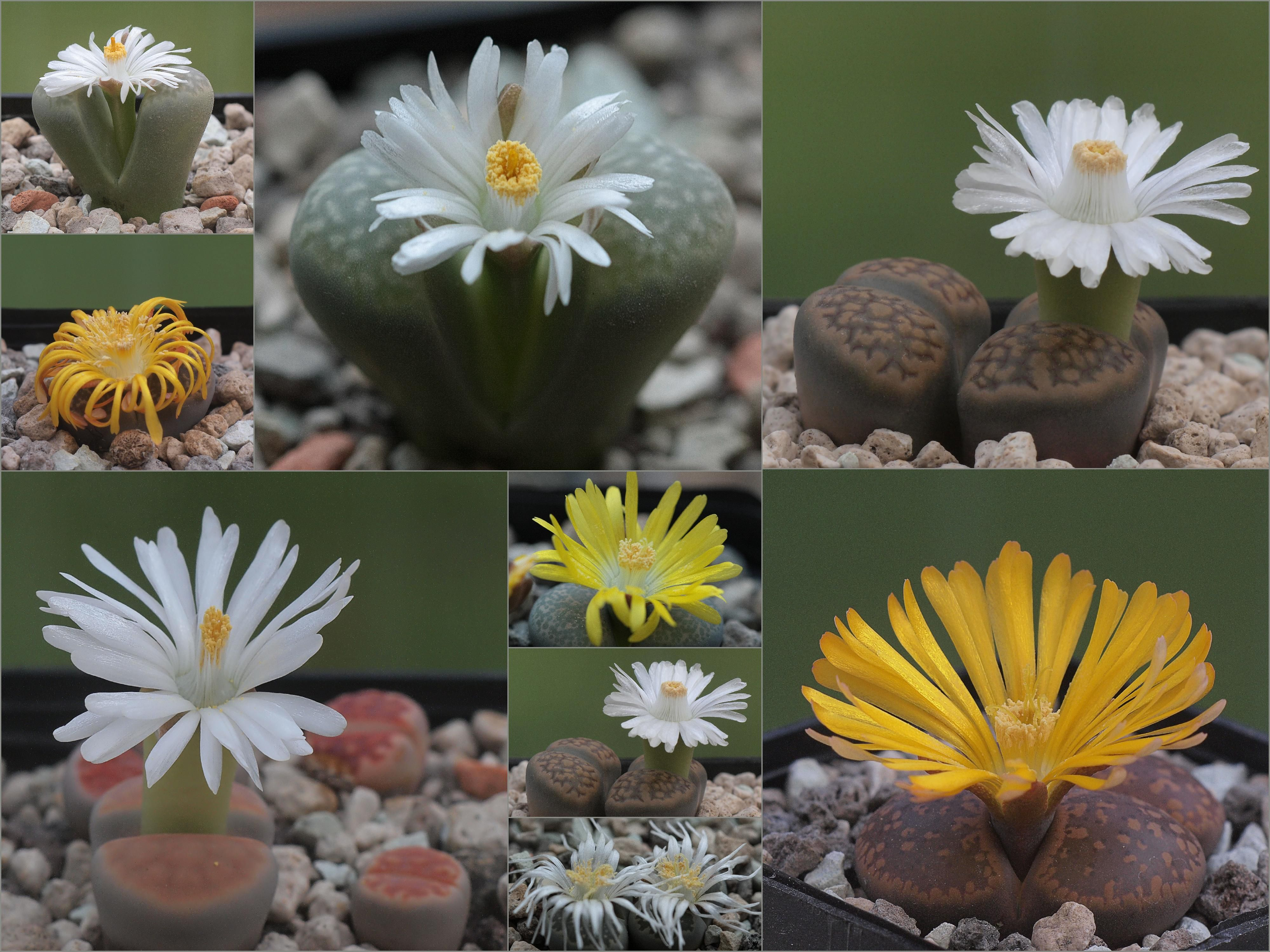 Lithops_by_Dornenwolf.jpg