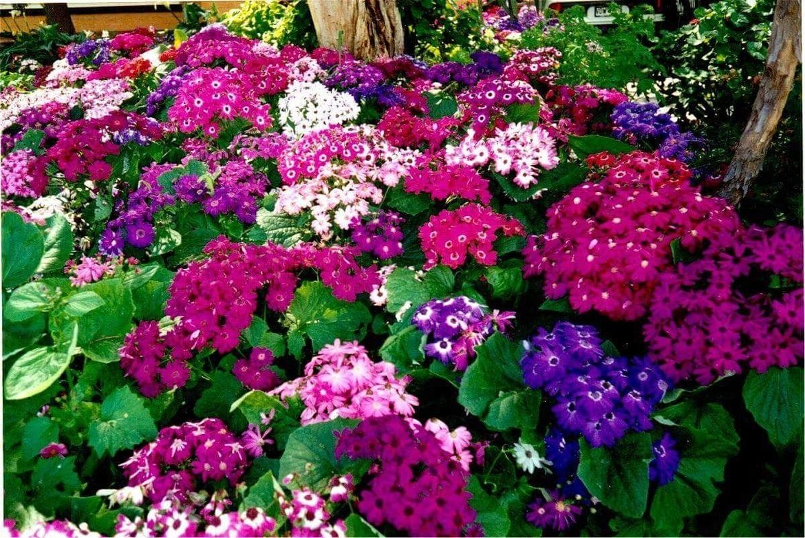 Sow a whole bed of cineraria.