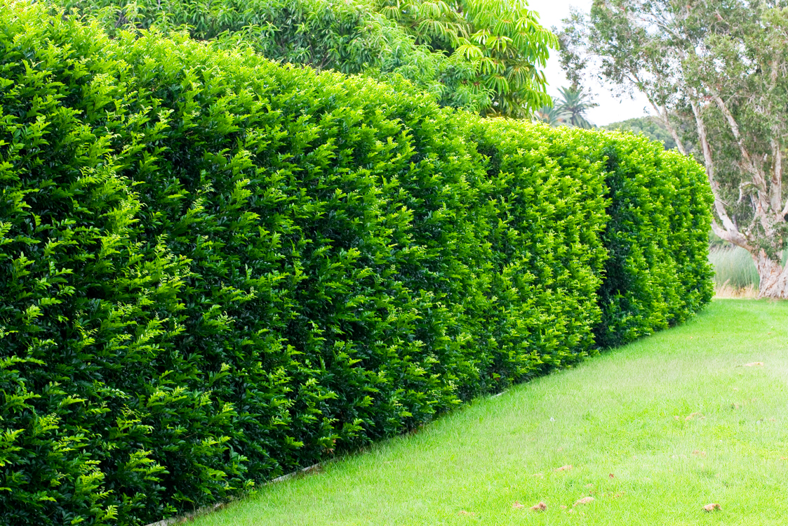 Murraya-paniculata-HEDGE.jpg
