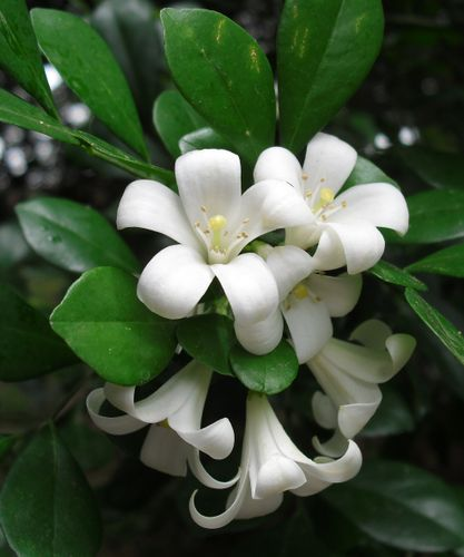 Orange_Jasmine_(Murraya_paniculata).JPG