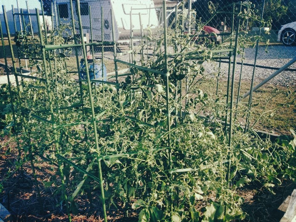 Tomatoes going wild.