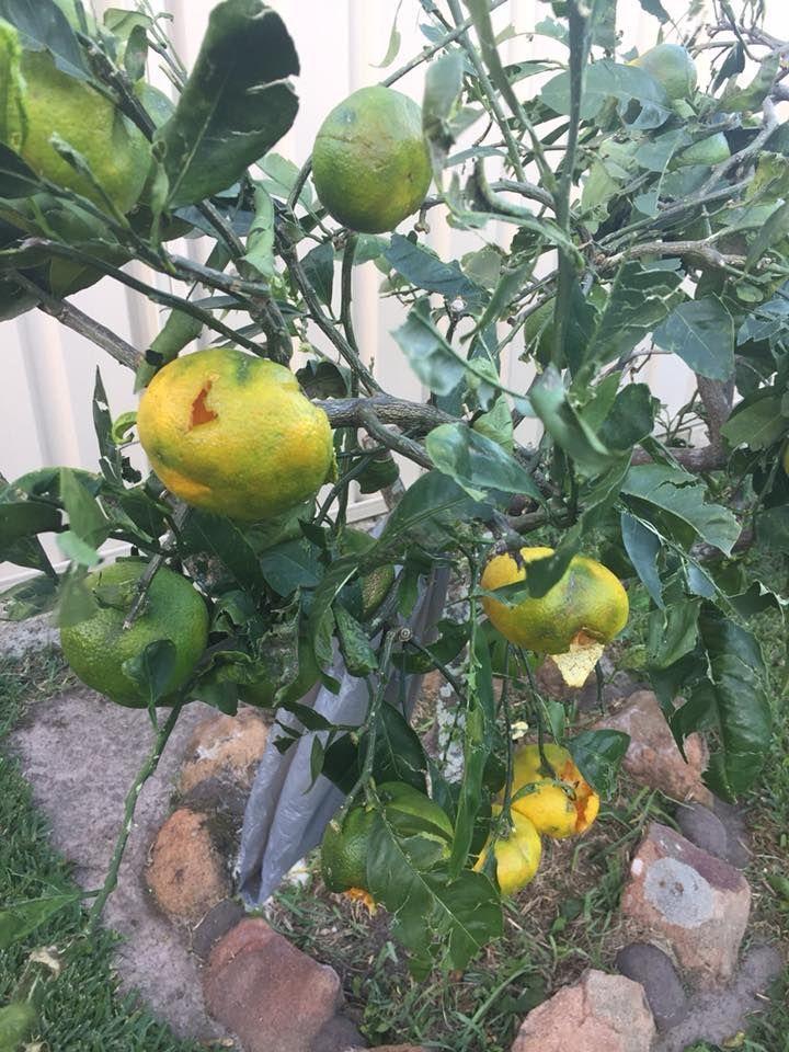 lots of damaged fruit :(