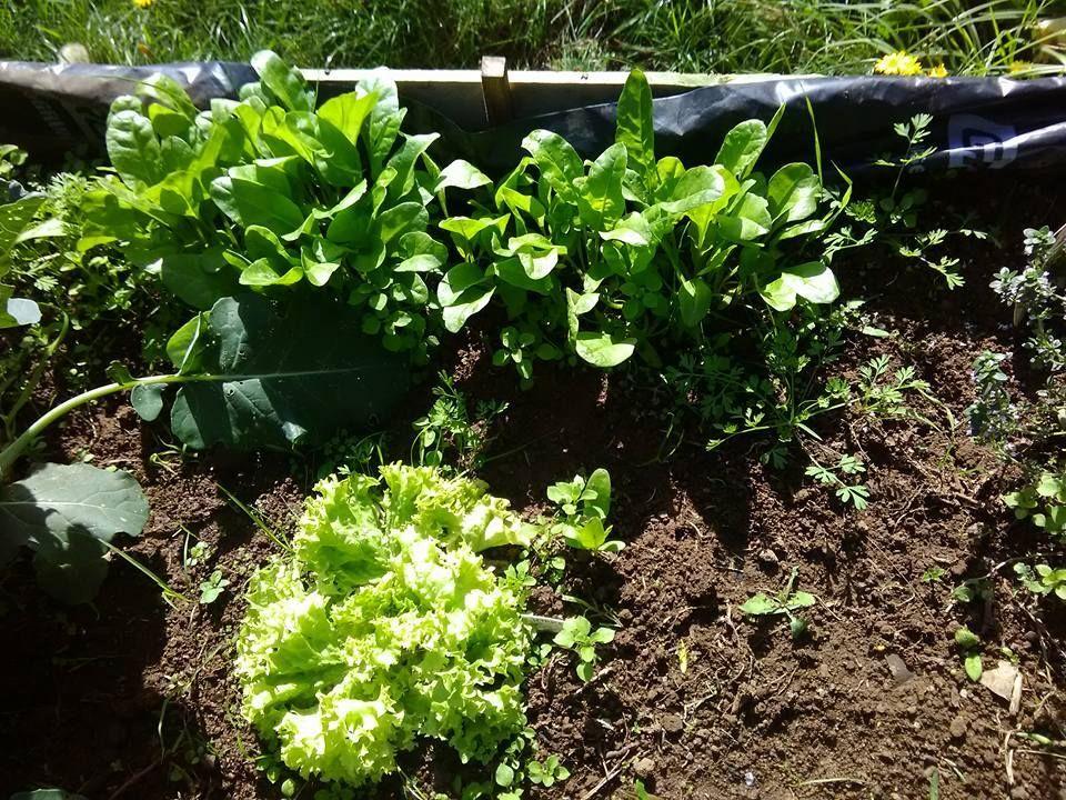 spinach seedlings