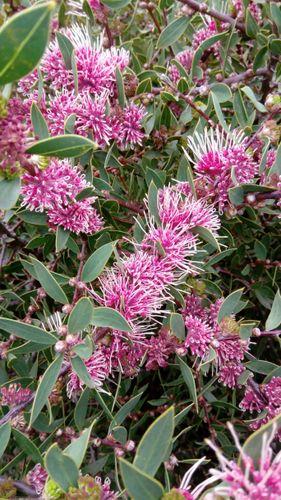 Burrendong Beauty (Hakea)
