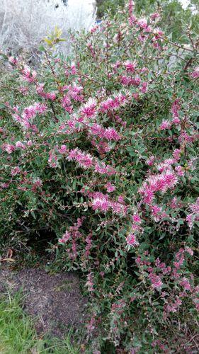 Burrendong Beauty Hakea
