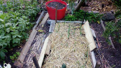 Garlic, Curly Leaf Parsley(rear)