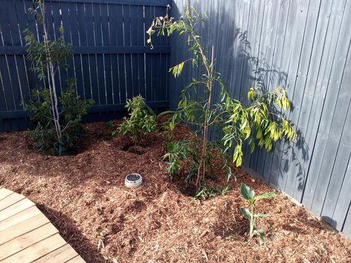 2 x Waterhousea floribunda (10m hybrid), Backhousia citriodora, birds of paradise,