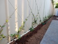 Using climbers to enliven a Colorbond fence