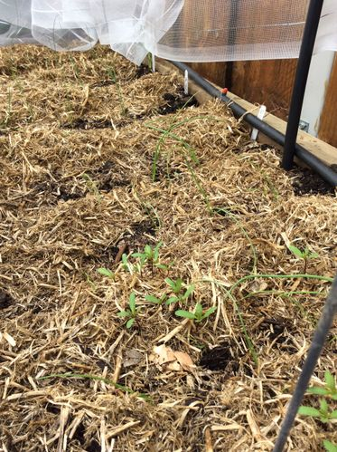 Onions and leeks planted