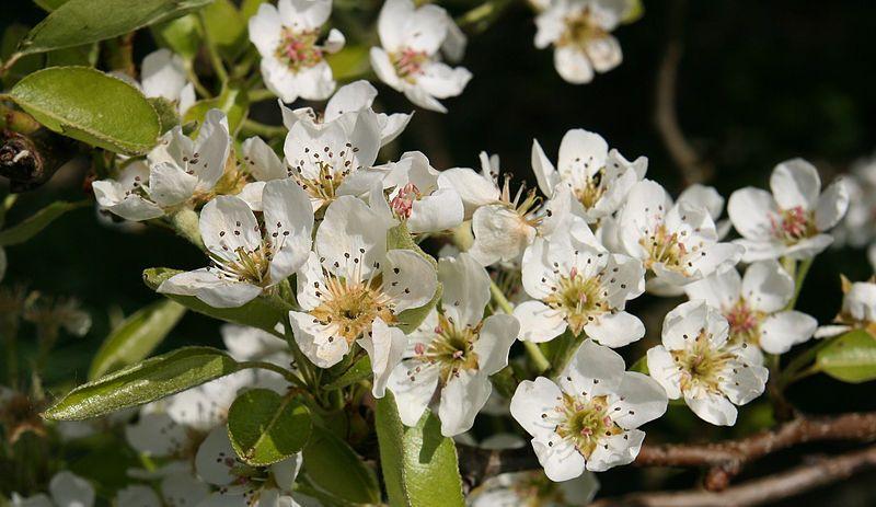 PearBlossom.jpg