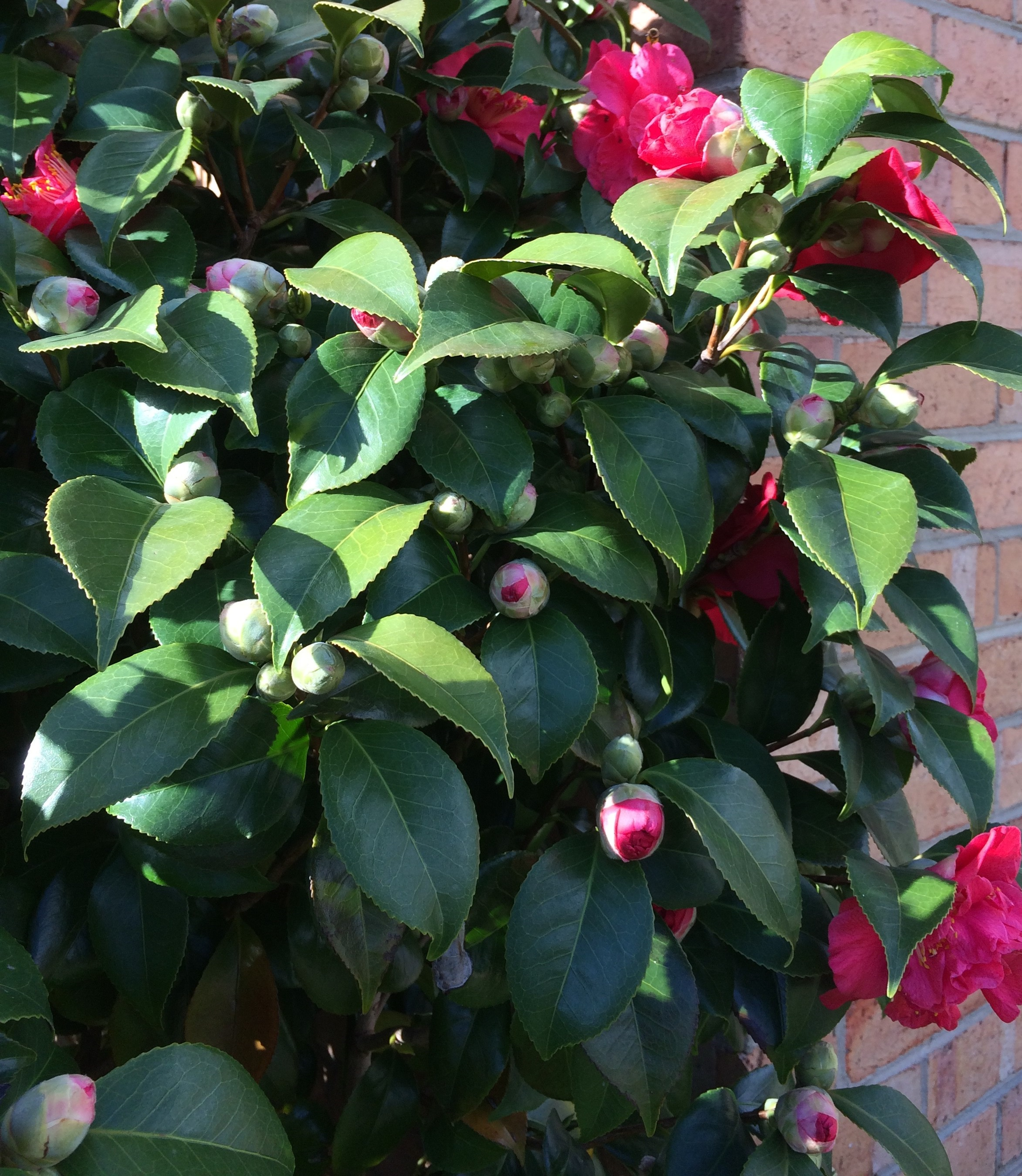 Camellia Front.jpg