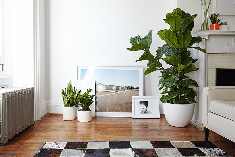Fiddle_Leaf_Fig_Right.jpg