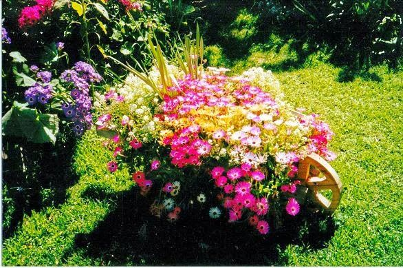 i plant livingstone daisy in autumn to flower in spring