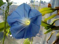 Morning_Glory_Flower.jpg