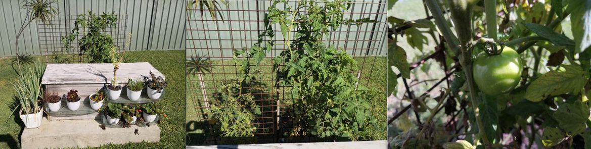 20190411 tomato.JPG